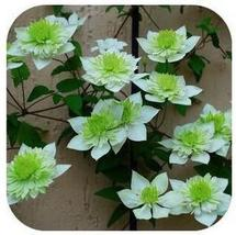 20 Plants Vine Clematis potted clematis garden (15), HZ Beautiful Flower... - $8.89