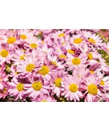 Live Starter Plant Shasta Daisy Pink mums Roots Chrysanthemum Flower Sup... - $21.99