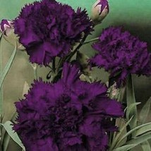 Carnation Grenadin King Of Black 50 Seeds #MBG02 - $18.17