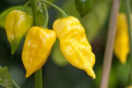 25 Lemon Habanero Pepper 2019 (All Non-Gmo Heirloom Vegetable Seeds!) - $5.92