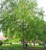 1 Container of River Birch Starter Plant - $172.06