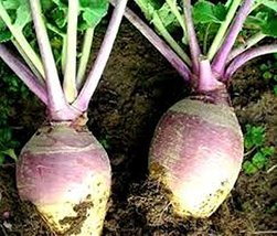 Rutabaga, American Purple Top Rutabaga Seeds, Heirloom, Non GMO, 500 Seeds - $8.99