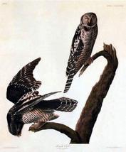 Audubon Hawk Owl Bird Art Print 7 in x 10 in Unmatted - $4.99