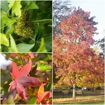 American Sweet Gum Tree (2-3') - Home Garden Outdoor Living - $51.99