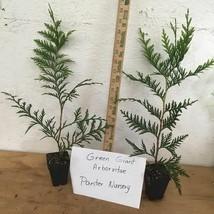 Green Giant Arborvitae 50 trees Thuja plicata 3 inch pot image 2