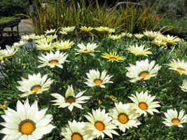 20 Pcs Gazania Kiss White Hybrid Flower Seeds #MNHG - $16.50