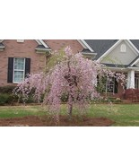 SHIPPED From US, DWARF PINK WEEPING CHERRY TREE *2 FT FLOWERING TREES, P1 - $119.88