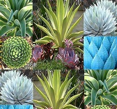 25 Seeds - Agave Species Mix - Free Shipping - $6.33