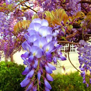 55C9 10pcs Rare Wistaria Vine Seeds Organic Sweet Perennial Garden Climbing Plan