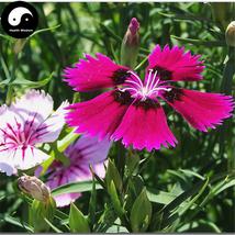Buy Multicolored Carnation Flower Seeds 400pcs Plant Dianthus Barbatus F... - $15.99