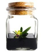 BLOOMIFY Miniature Orchid Terrarium -Zero Care - Haraella retrocalla - 3... - $35.78