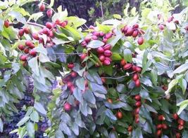 Ship From Us 20 Red Chinese Date Tree Edible Fruit Yellow Flower Seeds SBR4 - $12.00