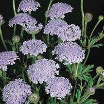 50 Blue Lace Flower (Didiscus caeruleus) Seeds - $5.94