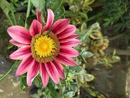 100 Flower Seeds Gazania Seeds Garden Leader Pink Seeds Garden Seeds Plant Seeds - $28.71