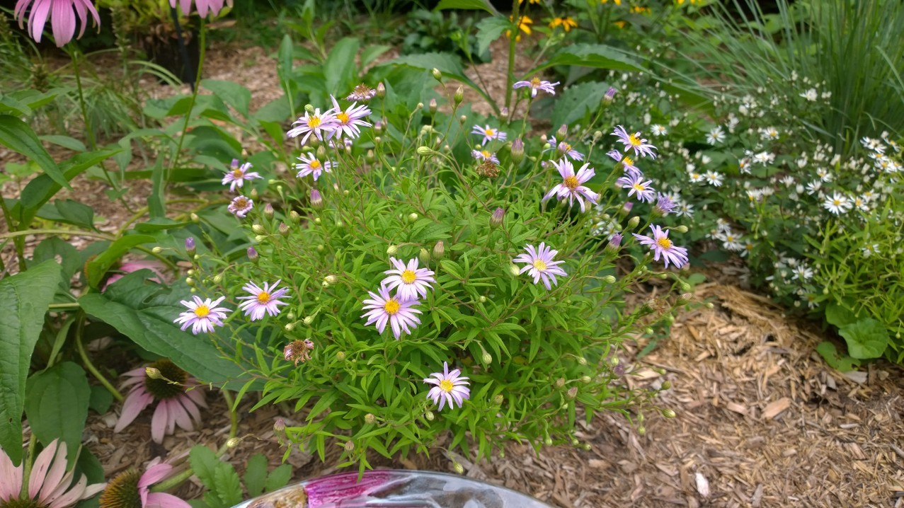 Organic Native Plant, Bog Aster, Oclemena nemoralis