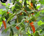 Eeds online plant vegetables bell pepper  capsicum grow super chili huang jiao  2  thumb155 crop