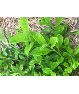 Five Edible Longevity Spinach (Gynura Procumbens) Fresh Cuttings - $21.68