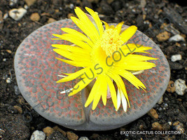 Rare Lithops Fulviceps Exotic Living Stones Rare Succulent Plant Seed 100 Seeds - $18.99