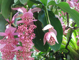 30pcs Very Amazing Pink Shrub Rose Grape Seed Flowers Philippine Orchid ... - $14.99