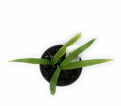 "4"" Pot Chinese Ground Orchid Kate Bletilla yokohama Kate - FREESHIPPING - $56.00"
