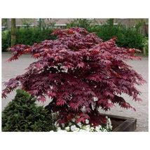 Bloodgood Japanese Maple gallon pot image 3