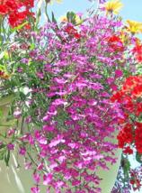 200 Pcs Seeds Lobelia Erinus Rosamond Carmine Red & White Flower - DL - $16.00