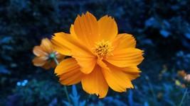 Dwarf Orange Sulphur Cosmos Seeds | Cosmos Seeds | 10 seeds - $10.84