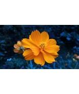 Dwarf Orange Sulphur Cosmos Seeds   Cosmos Seeds   10 seeds - $10.84