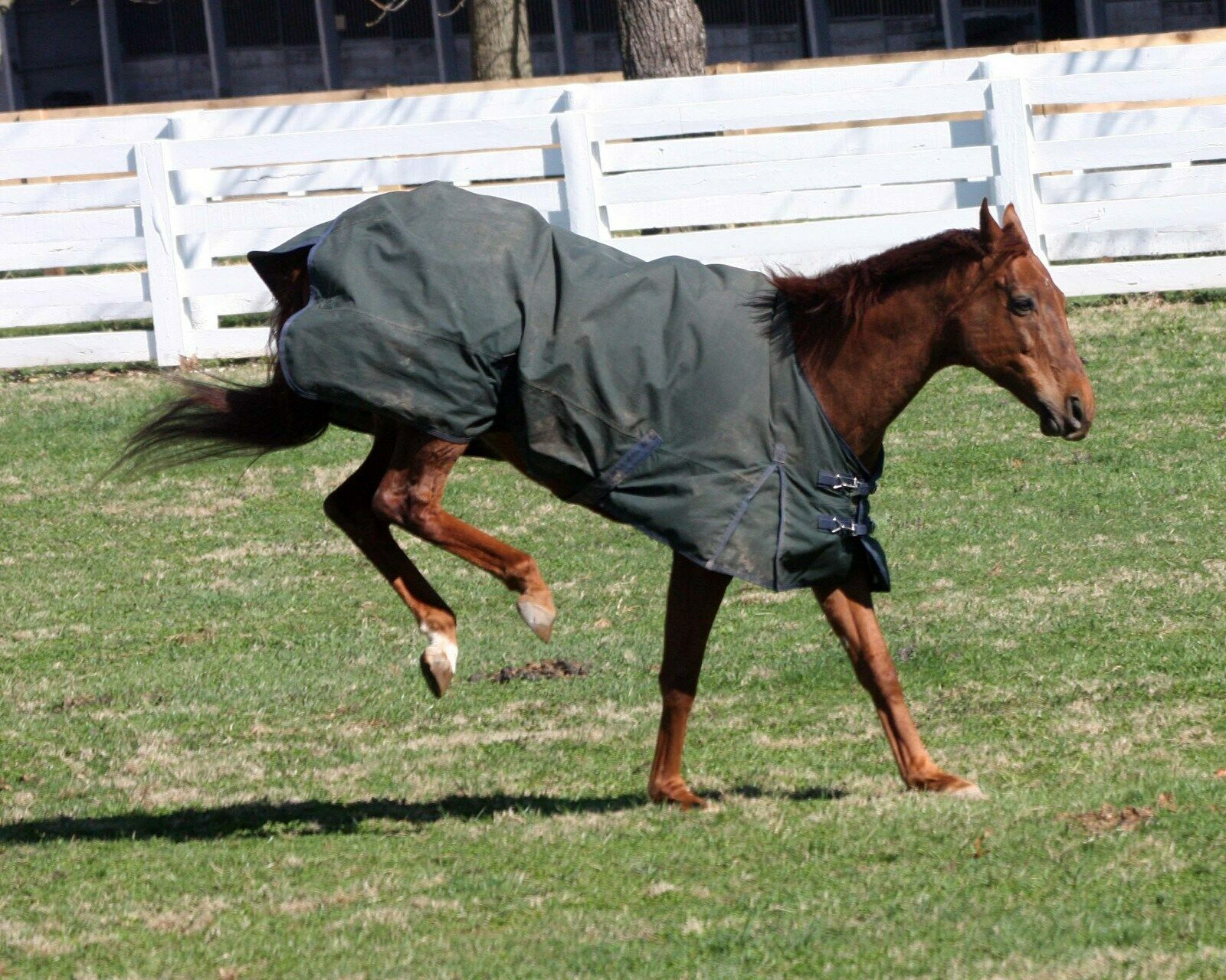 Primary image for COLOR PHOTO - FUNNY CIDE    Playing in paddock # 2 kicking his heels up