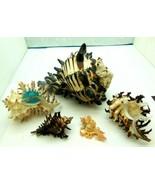 Lot of 5 Specimens Murex Chicoreus Seashell Sea Shell Branched 127mm Daz... - $136.47