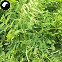 Buy Viciavillosa Seeds 250pcs Plant Forage Grass Viciavillosa Rothvar - $5.99