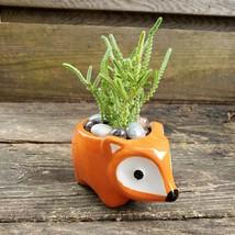 """Succulent in Fox Planter, Live Plant Watch Chain Crassula muscosa 5"""" Orange Pot image 4"""