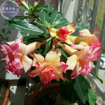 BEST PRICE BELLFARM Heirloom Trumpet Adenium 2 seeds, Flowers SEEDS DG - $5.59