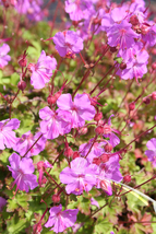 1 Root Plant - Geranium Karmina - Carmine Red - Rose Pink - Wildflower - $18.99
