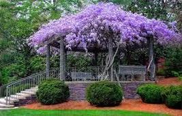 5 Wisteria Vine Shrub Bush Plant - Wisteria Seninsis - Bare Root - Free ... - $57.70