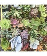 """3-4"""" SucculentMix Varieties Sedum Sempervivum Echeveria Stonecrop 25Cutt... - $68.00"""