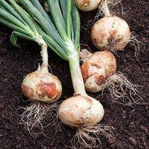 2000 Seeds or 1/4 OZ White Sweet Spanish Onion Seeds, NON-GMO - $9.90