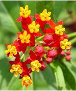 Bloodflower 200 seeds butterfly weed milkweed blood flower - €5,86 EUR