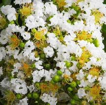 10 Dwarf White Crape Myrtle Seeds-1195 - $2.98