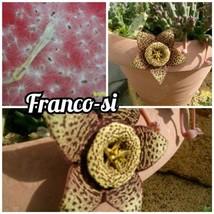 Orbea variegata Sukkulente Stapelia - 10 samen - $5.83