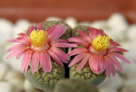 Lithops verruculosa cv Rose of Texas,  living stone rock stone seed 50 SEEDS - $9.99