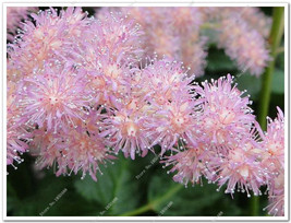 300pcs MIX 6 Kinds Astilbe Chinensis Seeds 100% Genuine Organic Blooming... - $4.76