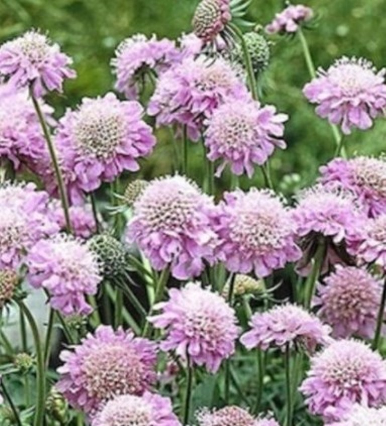 Primary image for 25 Pcs Seeds Pink Diamond Pincushion Perennial Flower- RK