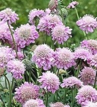 25 Pcs Seeds Pink Diamond Pincushion Perennial Flower- RK  - $14.00