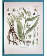 COMFREY Medicinal Symphytum Officinale - Beautiful COLOR Botanical Print - $26.01