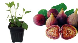 "Little Ruby Edible Fig Plant - Ficus carica - Sweet/Dwarf - 2.5"" Pot - $33.99"