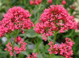 5 Pcs Seeds Jupiter's Beard Red Centranthus Ruber Coccineus Flowers - DL - $16.00