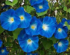 Morning Glory Seeds, Heavenly Blue, Heirloom Flowering Vine, Bulk Seeds ... - $14.54