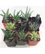 """5 Different Aloe Plants - Easy to grow/Hard to Kill! - 2"""" Pots  - ₨1,281.53 INR"""