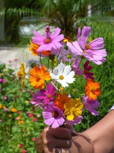 Primary image for SHIP FROM US 200 Crazy Cosmos Wildflower Mix Seeds, ZG09